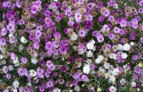 X For Xeranthemum Immortelly,The Everlasting Flower!!